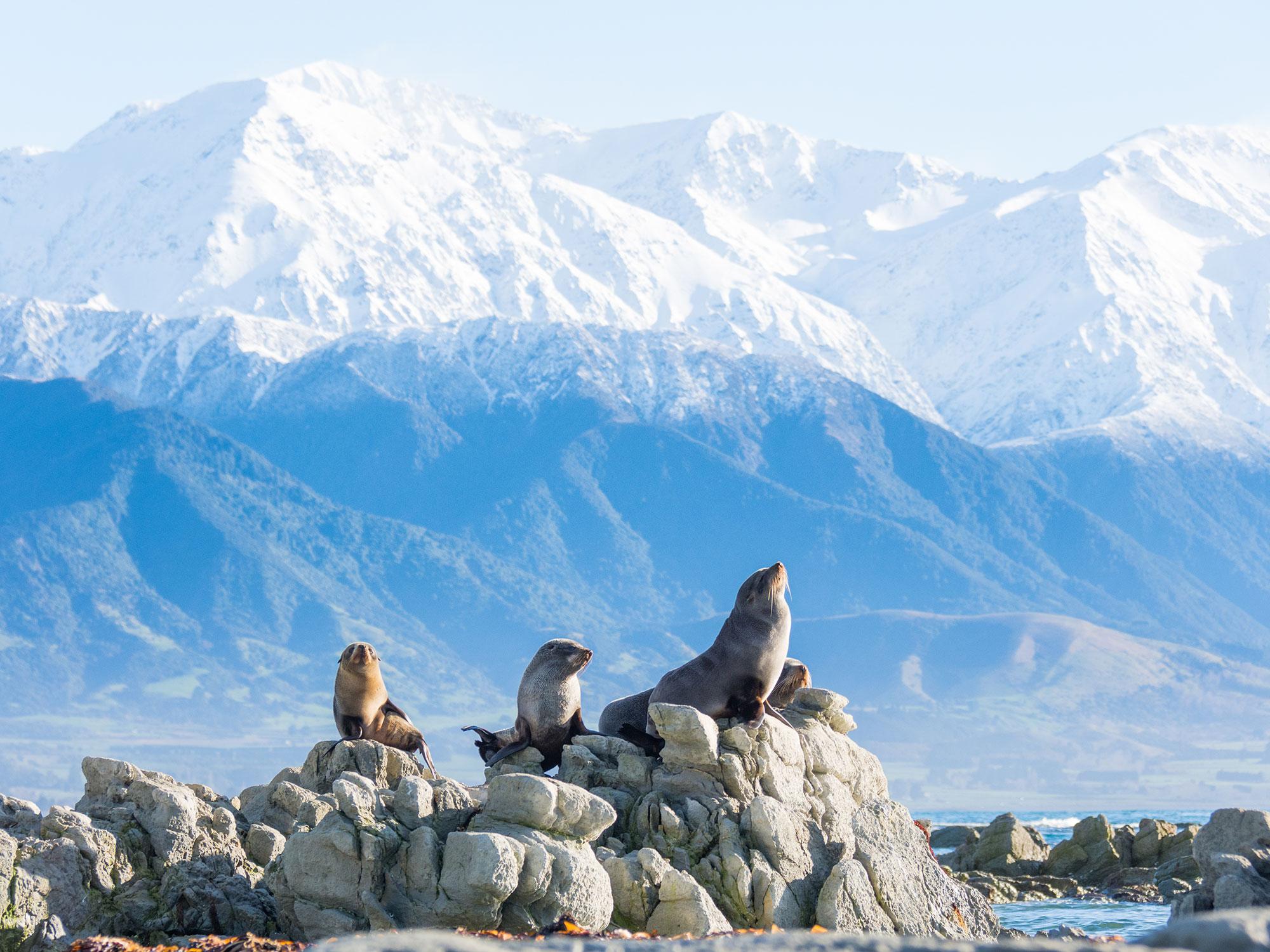 Seals basking on the rocks on our Kaikoura tour. Image Copyright Tourism NZ