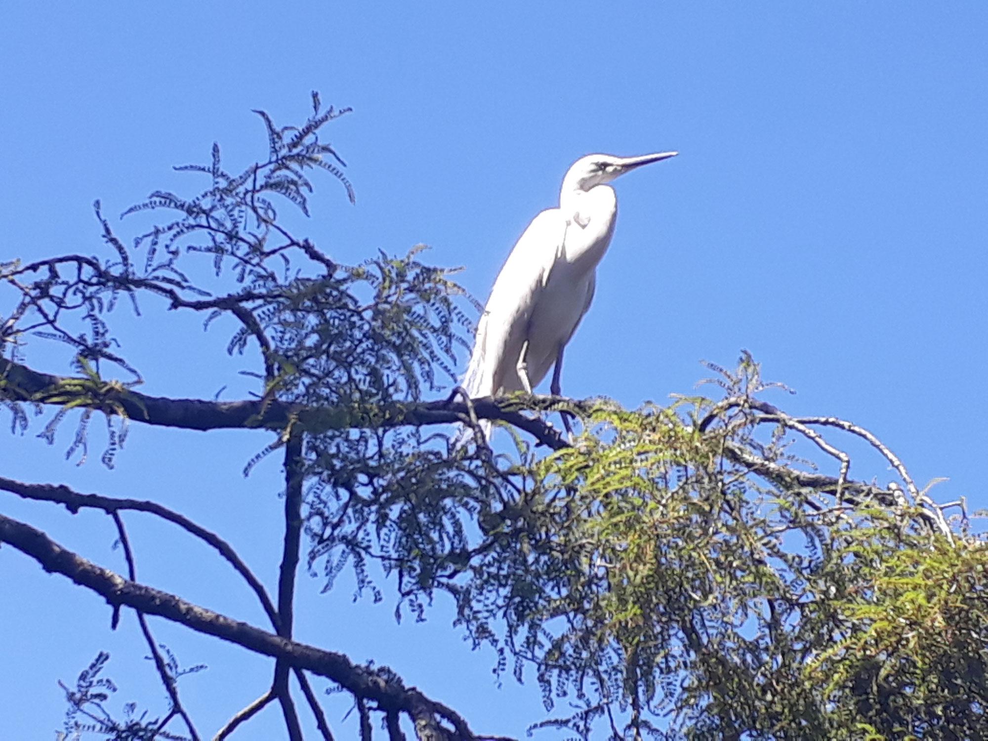 White Heron on our bird watching tour